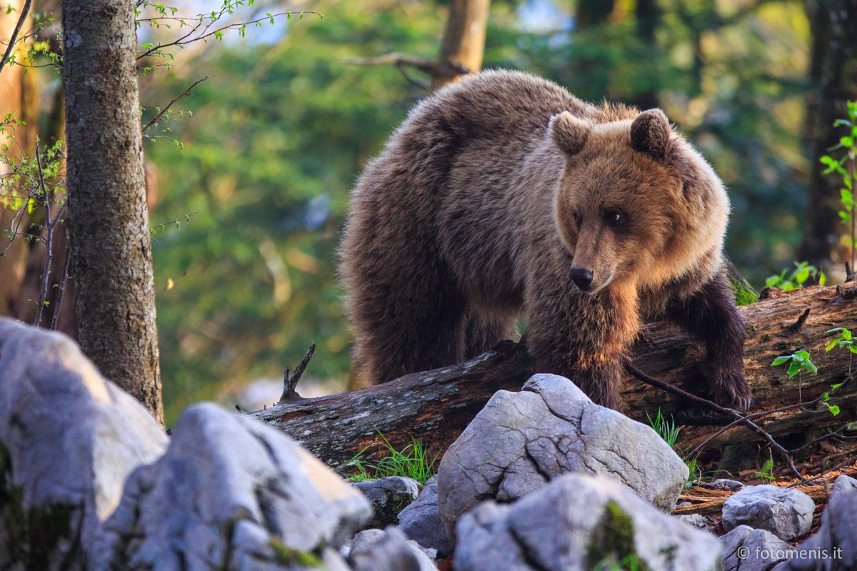 Orsi in Slovenia: andiamo a fotografarli