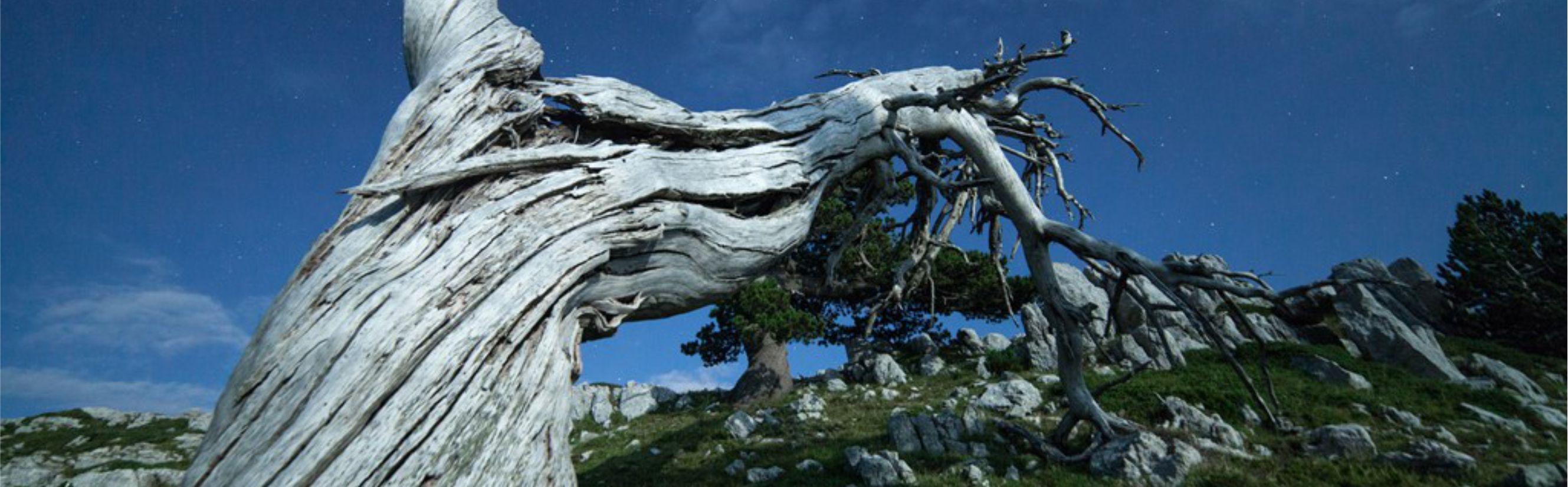 Il pino loricato del Monte Pollino