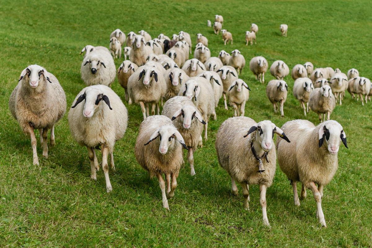 Le pecore Villnösser Brillenschaf in Val di Funes