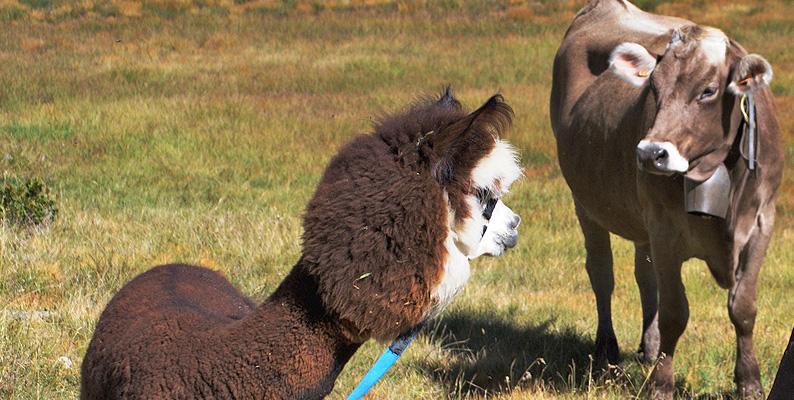 Trekking con l'alpaca in Valmalenco