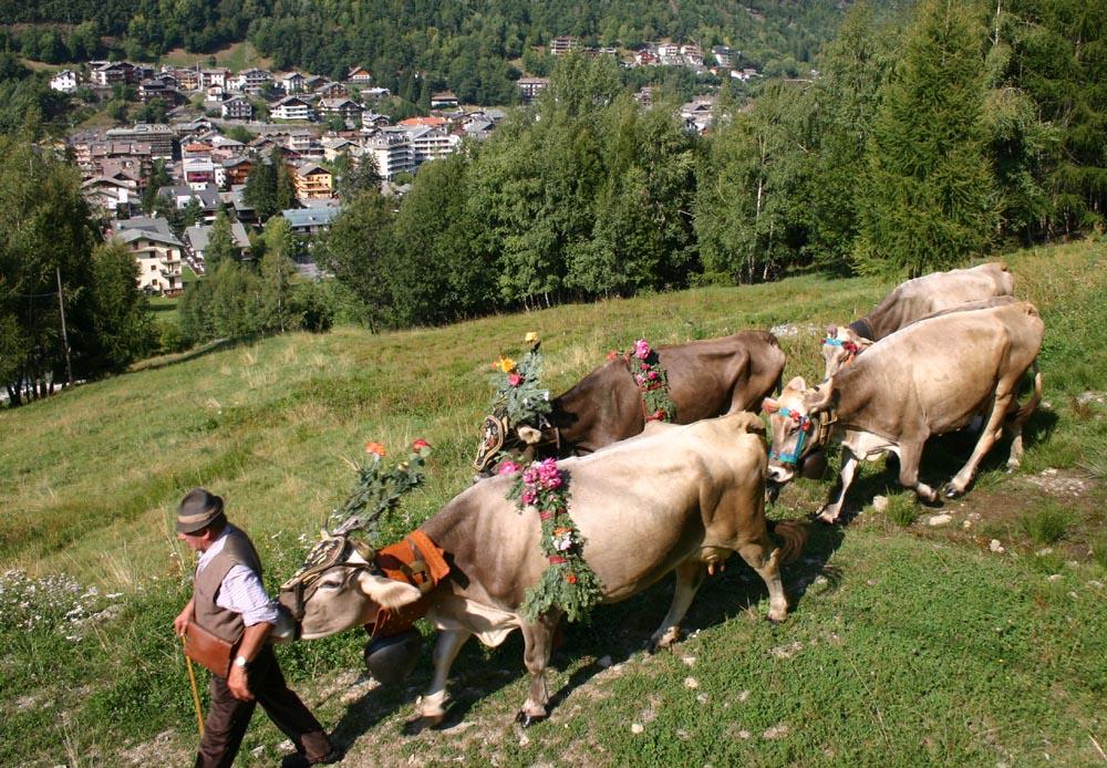 Transumanza ad Aprica: le brune scendono fiere dai monti