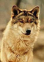 Nel Parco del Gran Paradiso il lupo protagonista di un concorso letterario