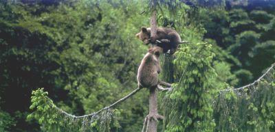 Il progetto ARCTOS per la salvaguardia degli orsi alla Settimana Alpina di Poschiavo
