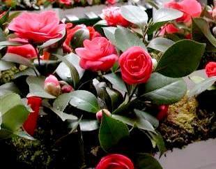 Locarno dal fiore in bocca