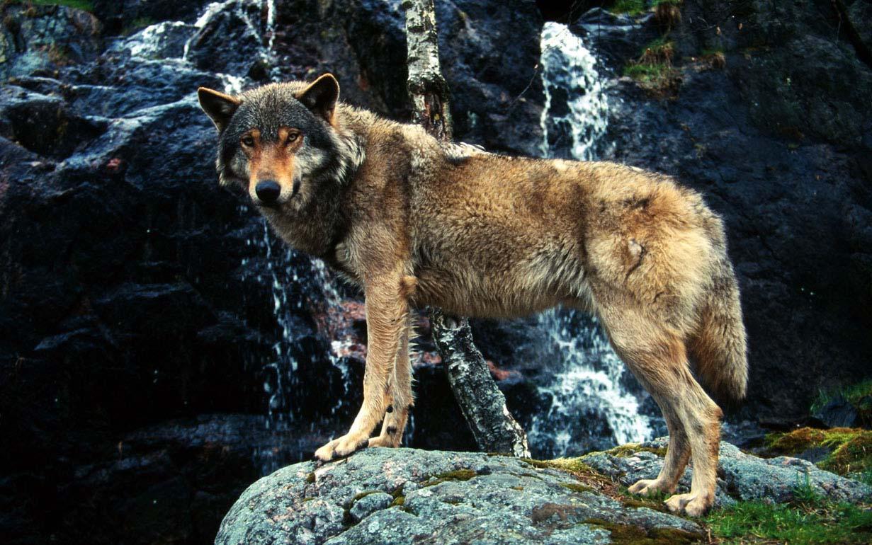 Il lupo è tornato in Valle d'Aosta