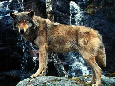 Wolves in the Alps