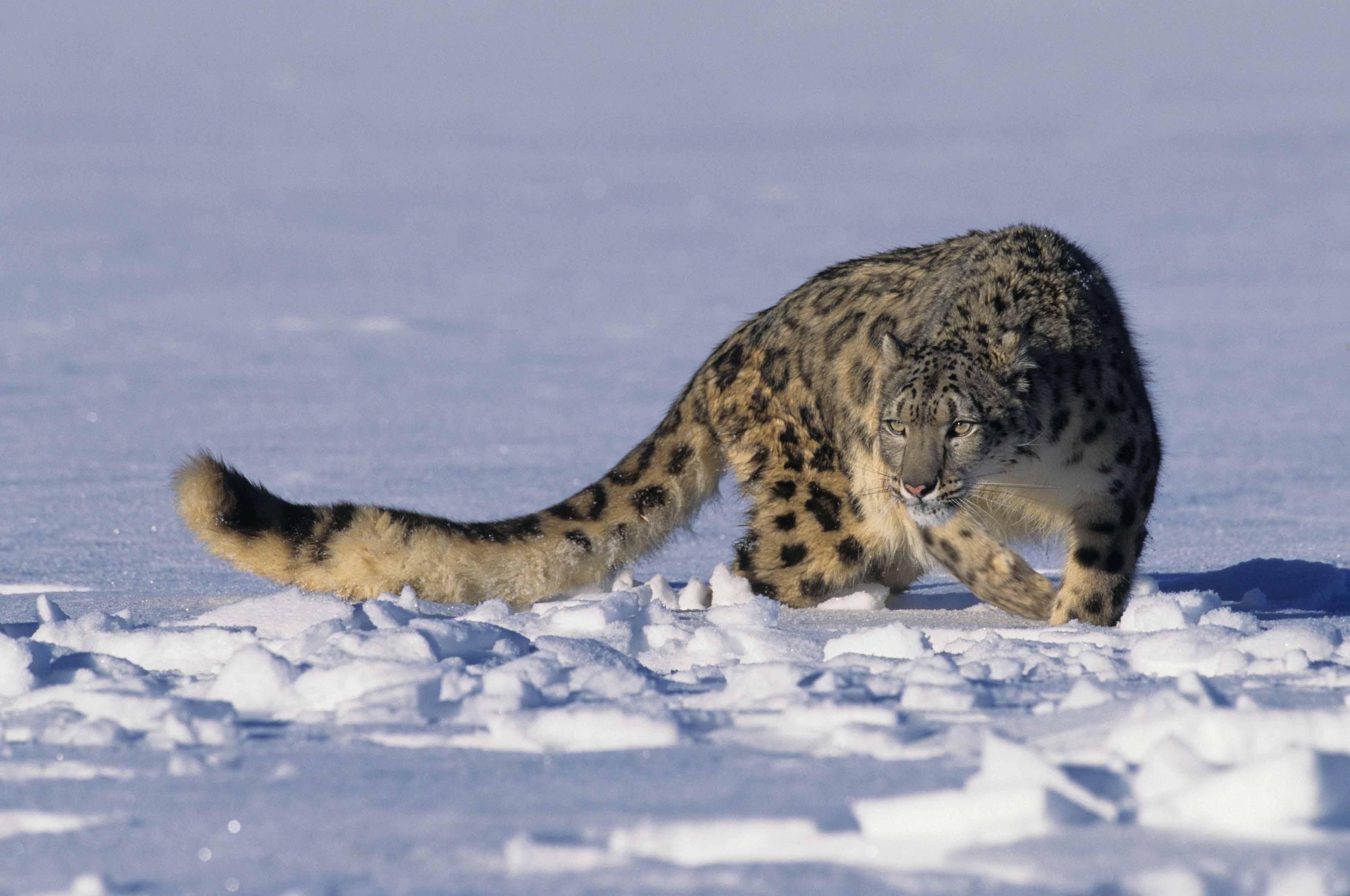 Con Dynafit, giornata scialpinistica all'Alpe Devero per la salvaguardia dei leopardi